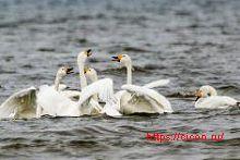 Малый лебедь КК Ростовской области