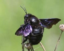 Пчела-плотник обыкновенная