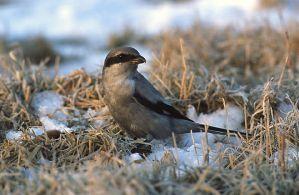 Список видов птиц, занесенных в Красную книгу Московской области