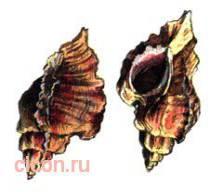 Цератостома барнетта